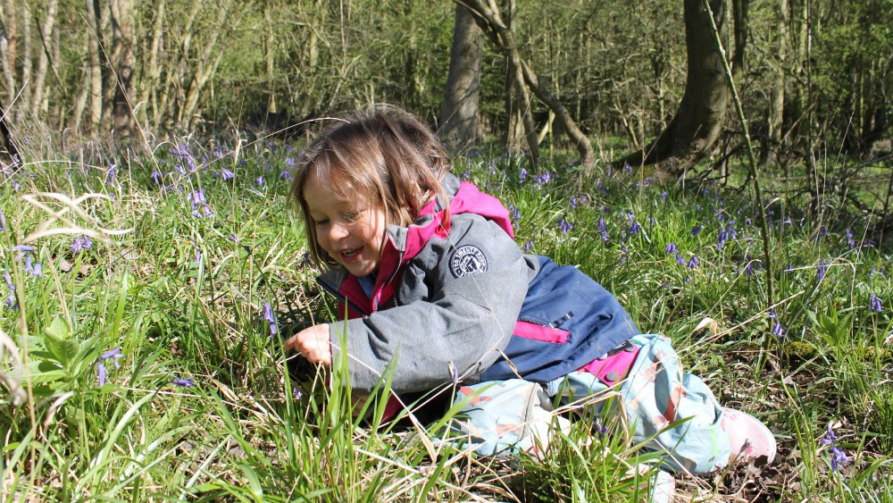 pre-school child looking closely at bluebells in woods